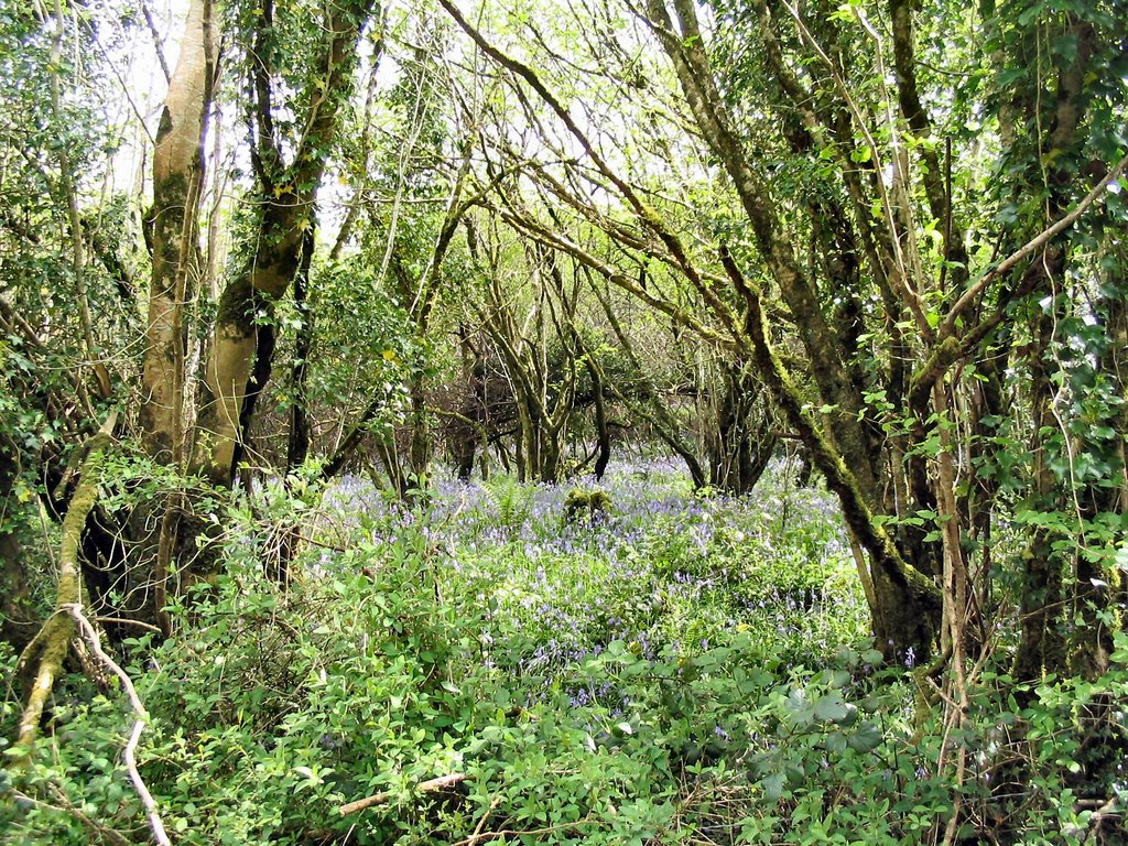 Wild Bluebells in Kilcommon, County Tipperary, Ireland