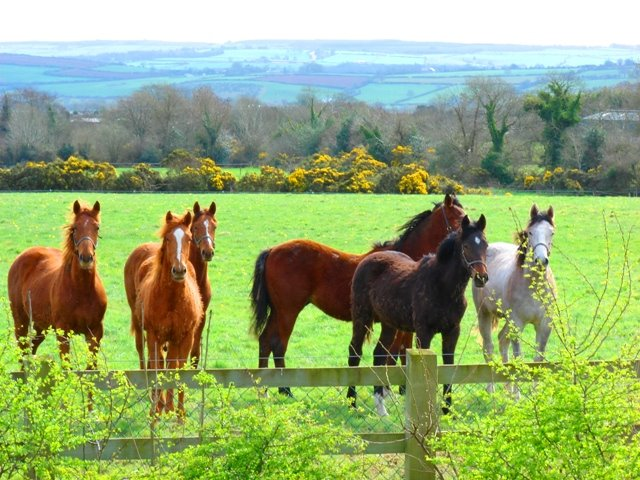Horses beside Cork to Dublin Road south of Cashel,Co Tipperary