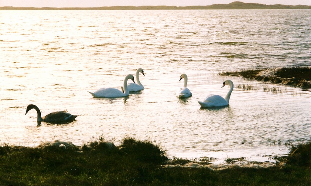 Whooper Swans, Cross Lough, Mullet peninsula, Co Mayo.
