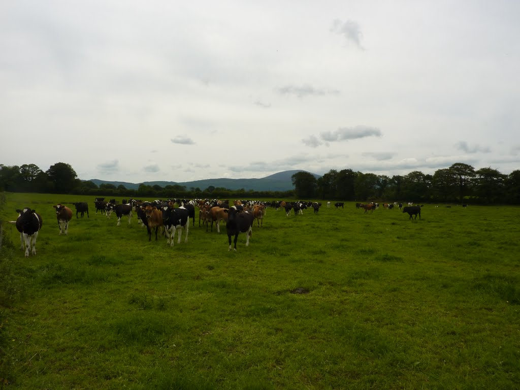 Mullinahone Cattle