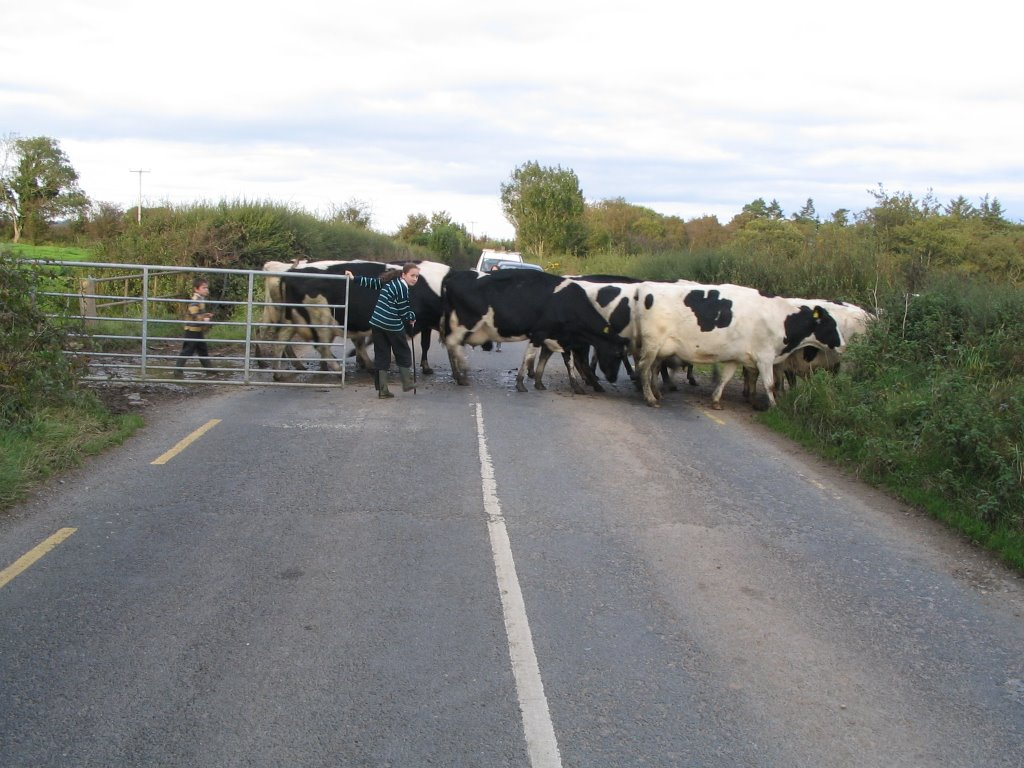 Cattle Crossing!