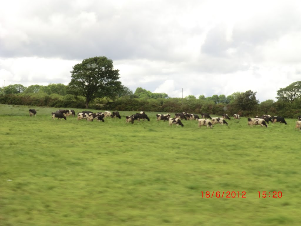 Cattle grazin in Lyredaowen
