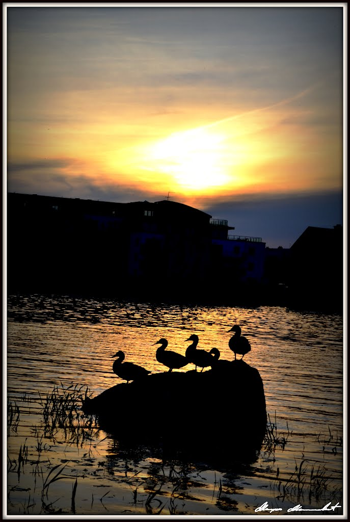 A Group of Mallard Ducks Hanging Out and Enjoying Sunset Over Shannon River
