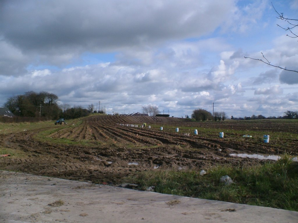 pickings spuds in Tullamore